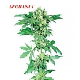 AFGHANI 1 REGULAR (10) SENSI SEEDS