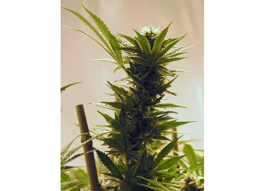 Primeros pasos para las cooperativas de cannabis en Holanda